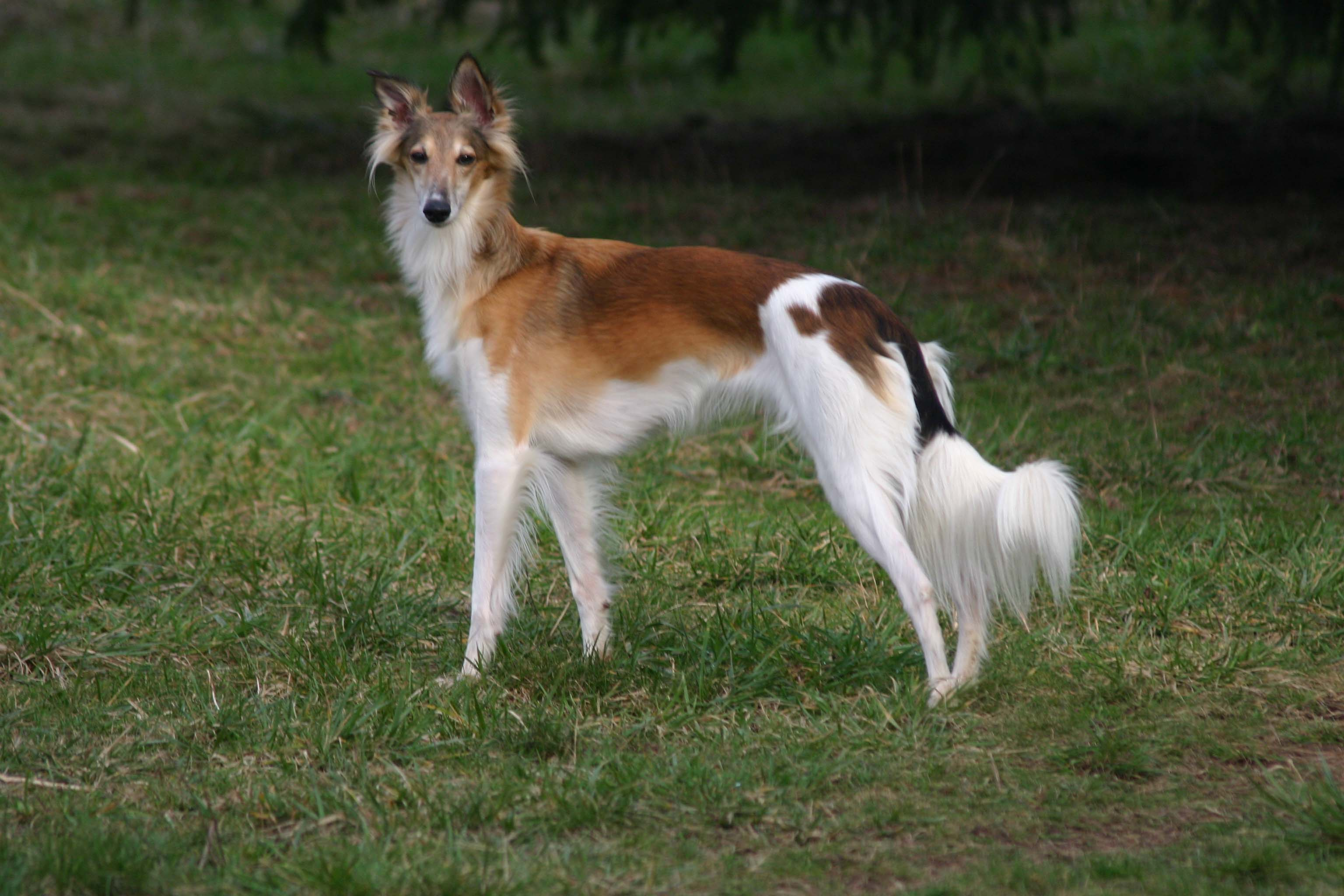 Silken Windhound Breed Guide Learn About The Silken