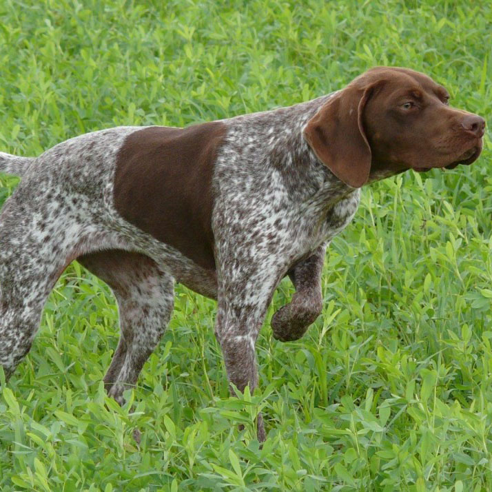 Braque Francais Breed Guide Learn About The Braque Francais