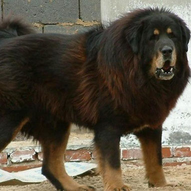 Caucasian Shepherd Breed Guide Learn About The Caucasian