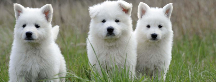 Berger Blanc Suisse Breed Guide Learn About The Berger