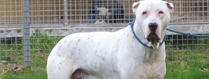 Bully Kutta Breed Guide Learn About The Bully Kutta