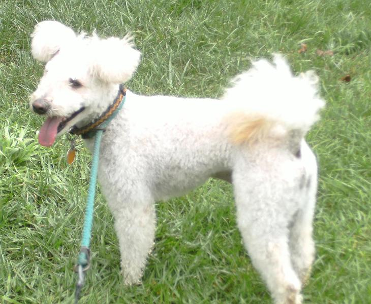 Pumi Breed Guide Learn About The Pumi