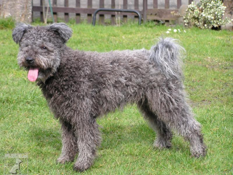 Pumi the national treasures dog breed guide