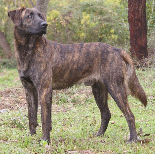 Dog Breed Corsica