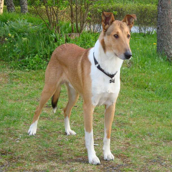 Collie Smooth Breed Guide Learn About The Collie Smooth