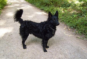 Croatian Sheepdog Breed Guide Learn About The Croatian