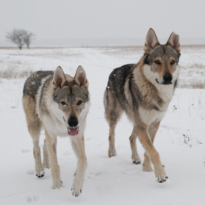 Czechoslovakian Vlcak Breed Guide Learn About The