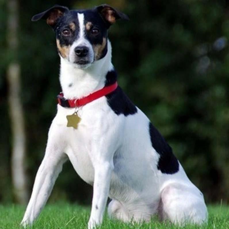 Danish Swedish Farmdog Breed Guide Learn About The