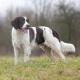 Dogue de Bordeaux Breed Guide - Learn about the Dogue de ...