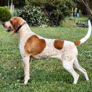 English Coonhound Breed Guide - Learn about the English ...