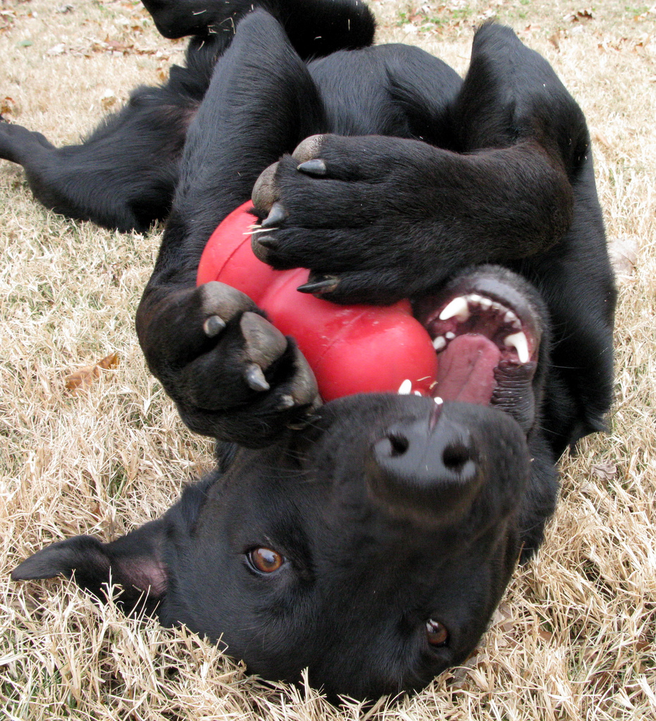 Dog Playing with His Kong Toy