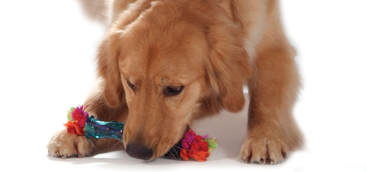 Golden Retriever Playing with his orka toy