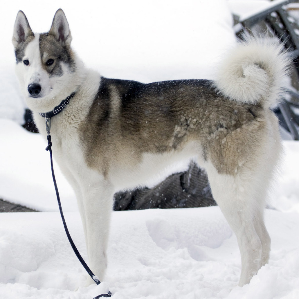 East Siberian Laika Breed Guide - Learn about the East ...