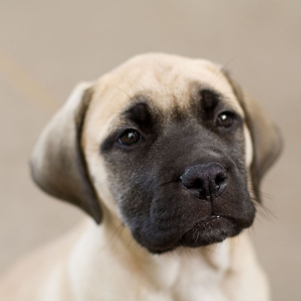 Learn About The English Mastiff