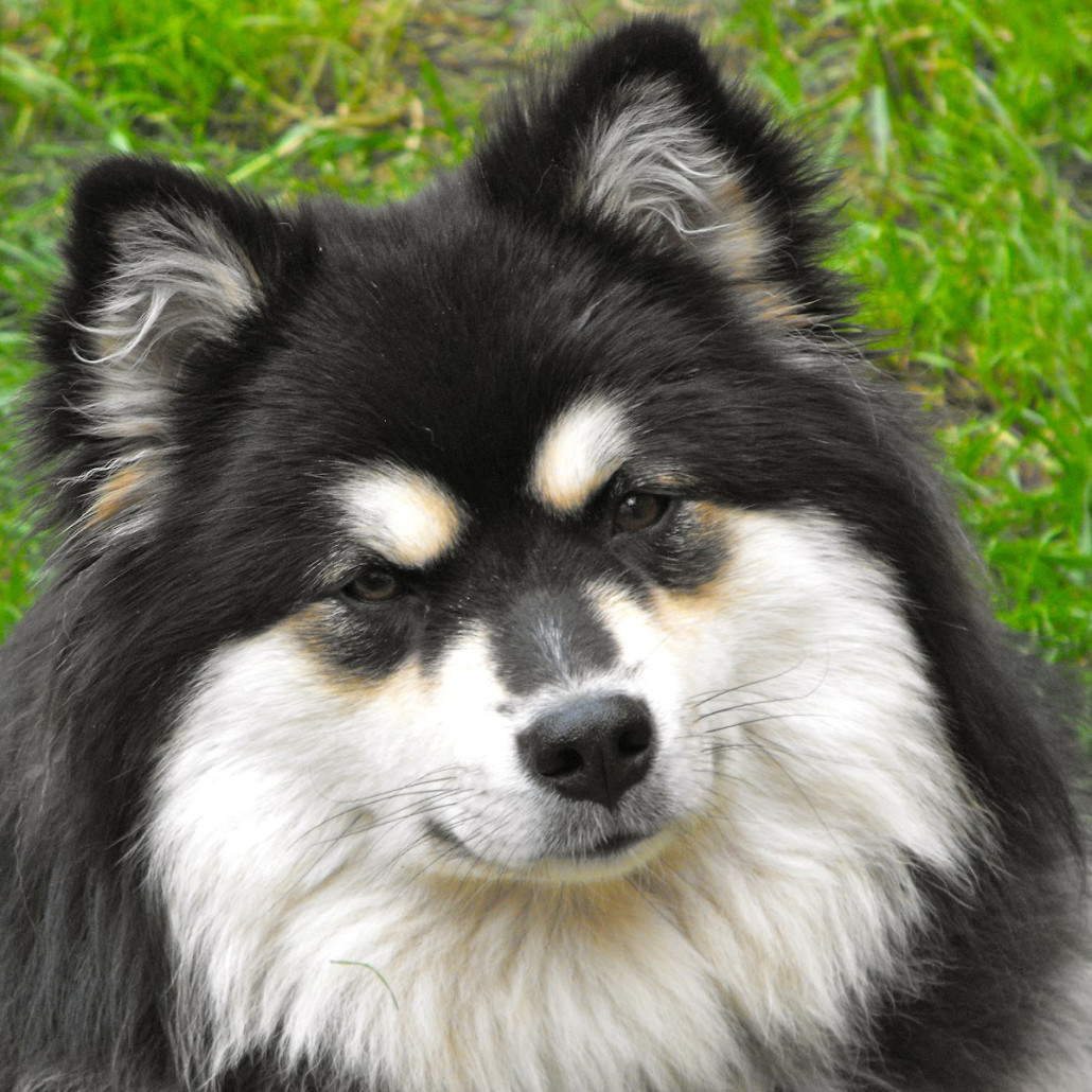 Finnish Lapphund Breed Guide Learn About The Finnish