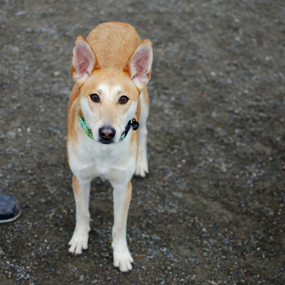 Formosan Mountain Dog Breed Guide Learn About The