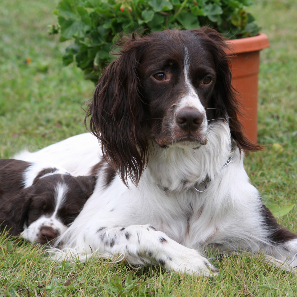 French Spaniel Breed Guide Learn About The French Spaniel