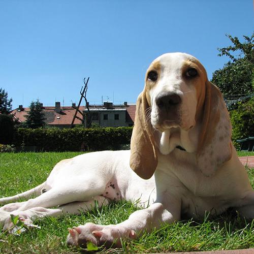 Dog Breeds Beginning With P Pet Paw