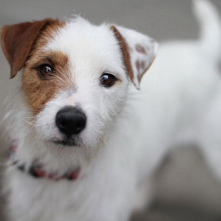 jack russell terrier hypoallergenic jack russell terrier breed guide learn about the jack 8112