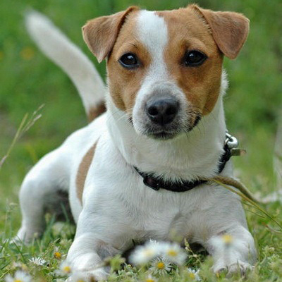 russell terrier breed jack russell terrier breed guide learn about the jack 6408