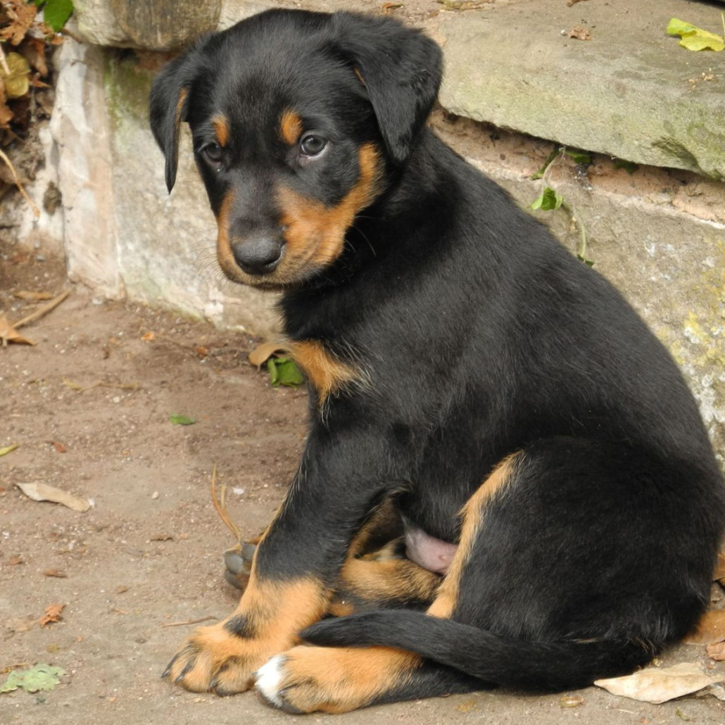 Big Dog Breed Puppies For Sale
