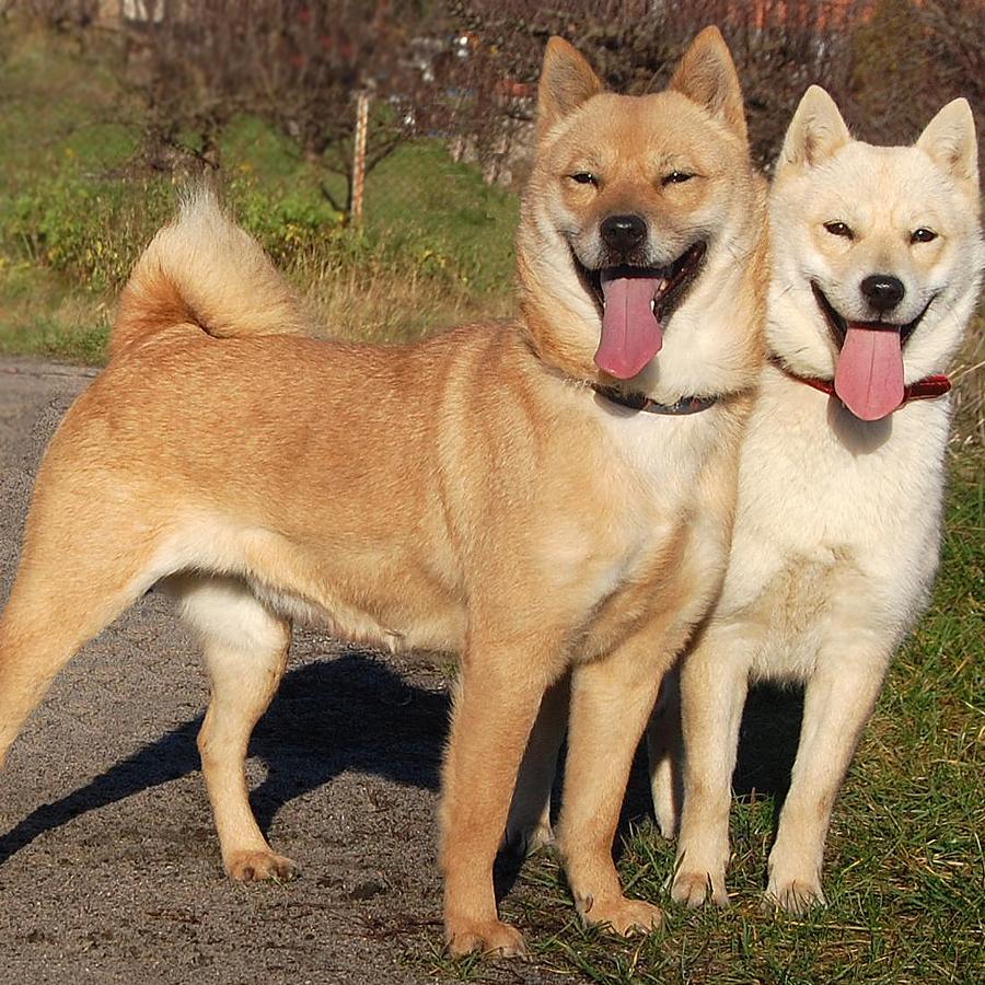 Hokkaido (dog) Hokkaido Breed Guide Learn about the Hokkaido