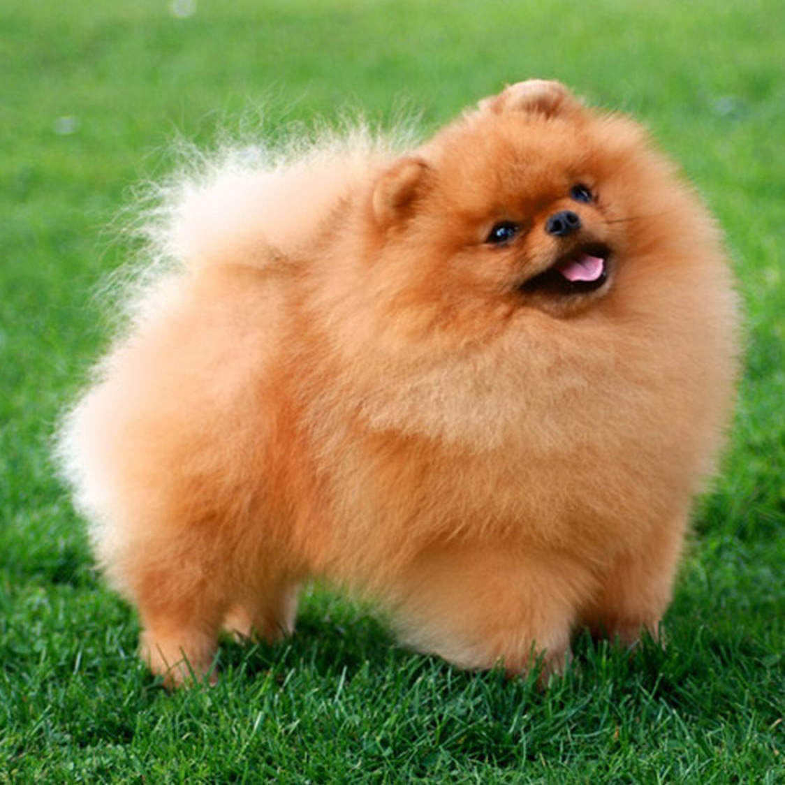 teacup pomeranian life expectancy german spitz breed guide learn about the german spitz 1944