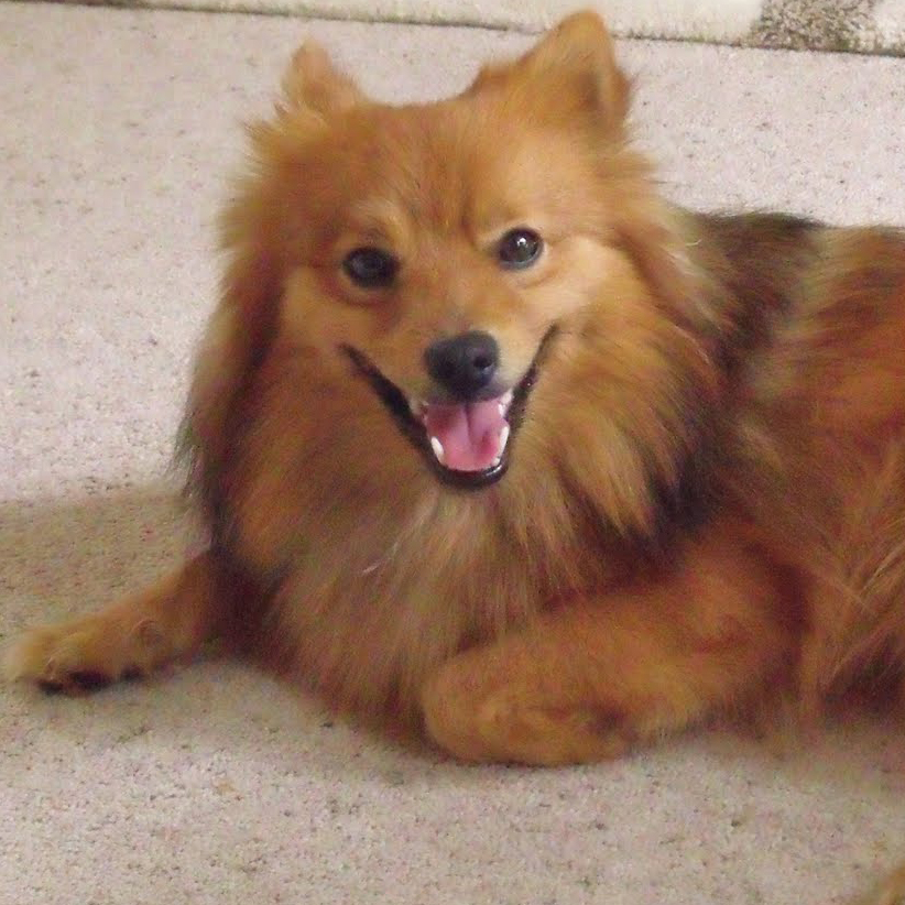German Spitz Breed Guide - Learn about the German Spitz.