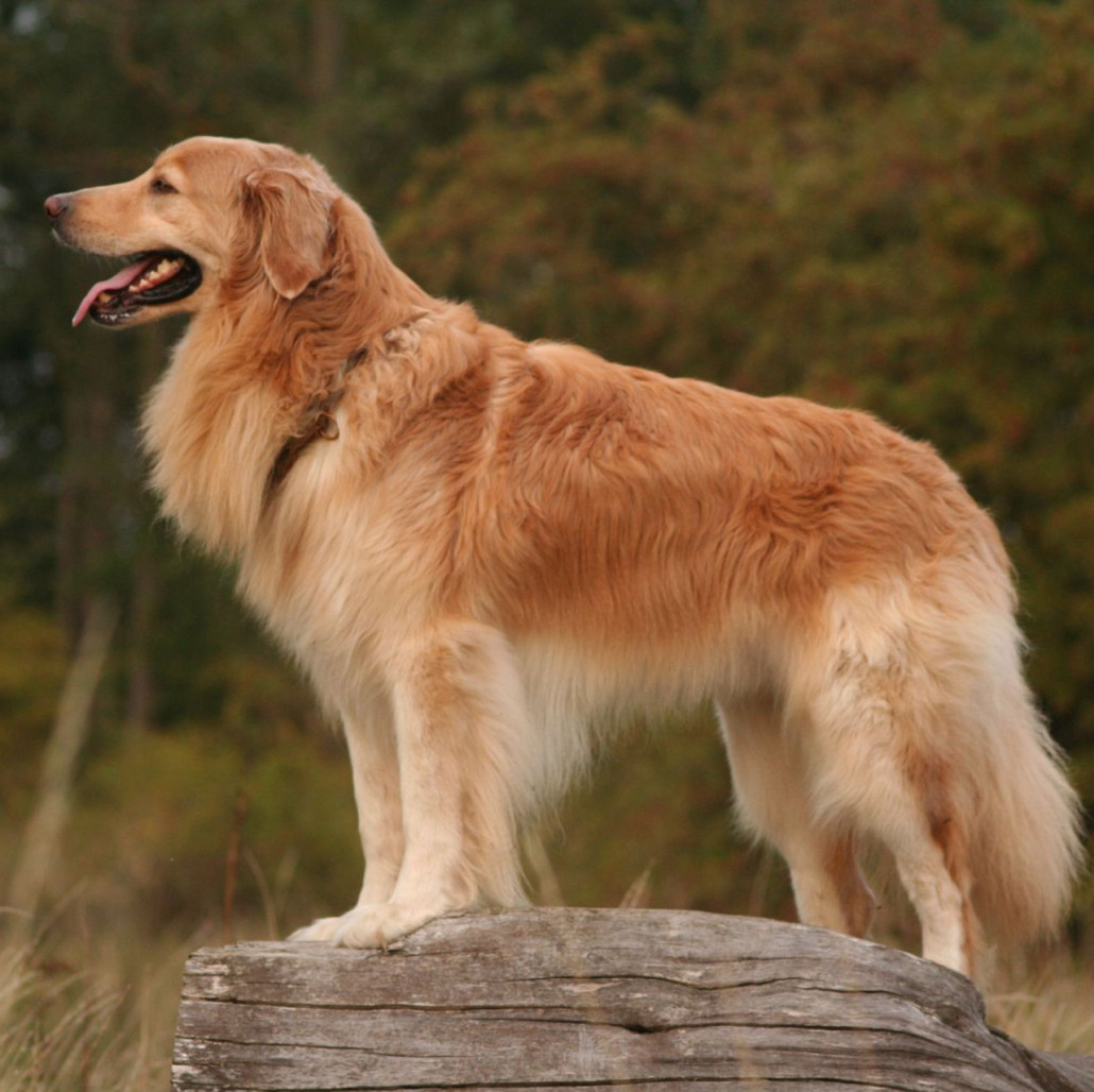 Hovawarts Breed Guide - Learn about the Hovawarts.