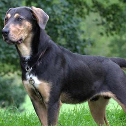 How To Cross Breed Dogs