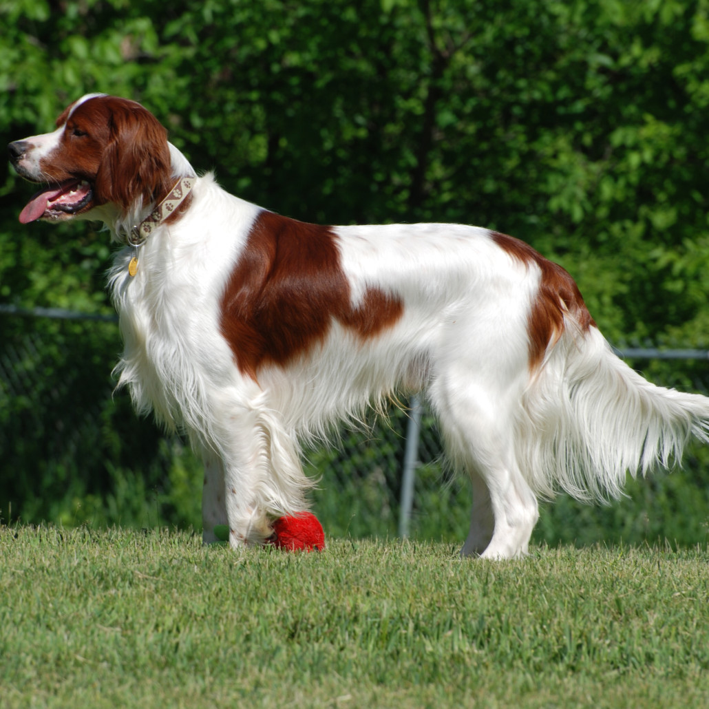 Irish Red And White Setter Breed Guide Learn About The