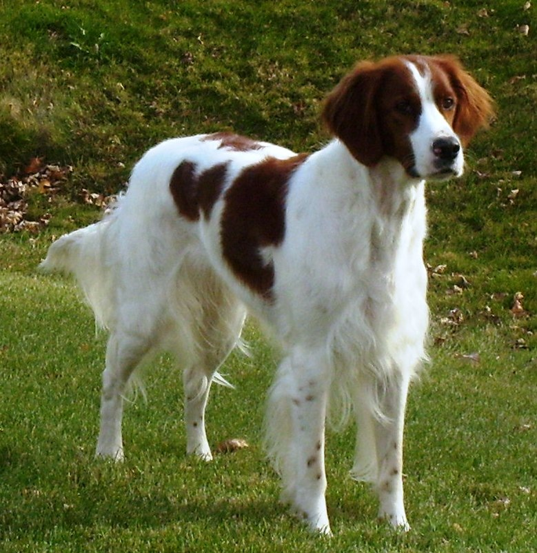 Irish Red and White Setter Breed Guide - Learn about the Irish Red and ...
