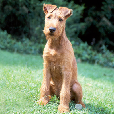 Irish Terrier Breed Guide Learn About The Irish Terrier