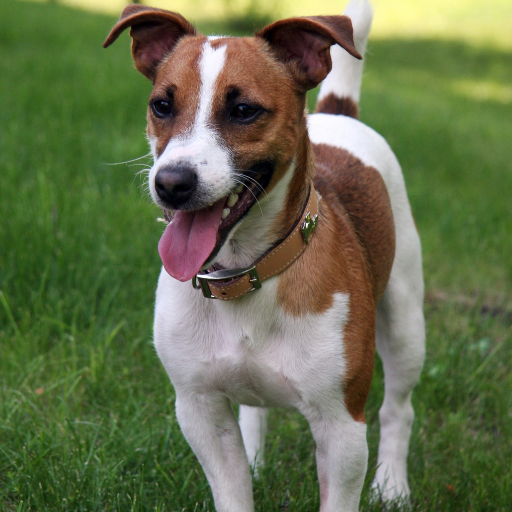Jack Russell Terrier Breed Guide Learn About The Jack