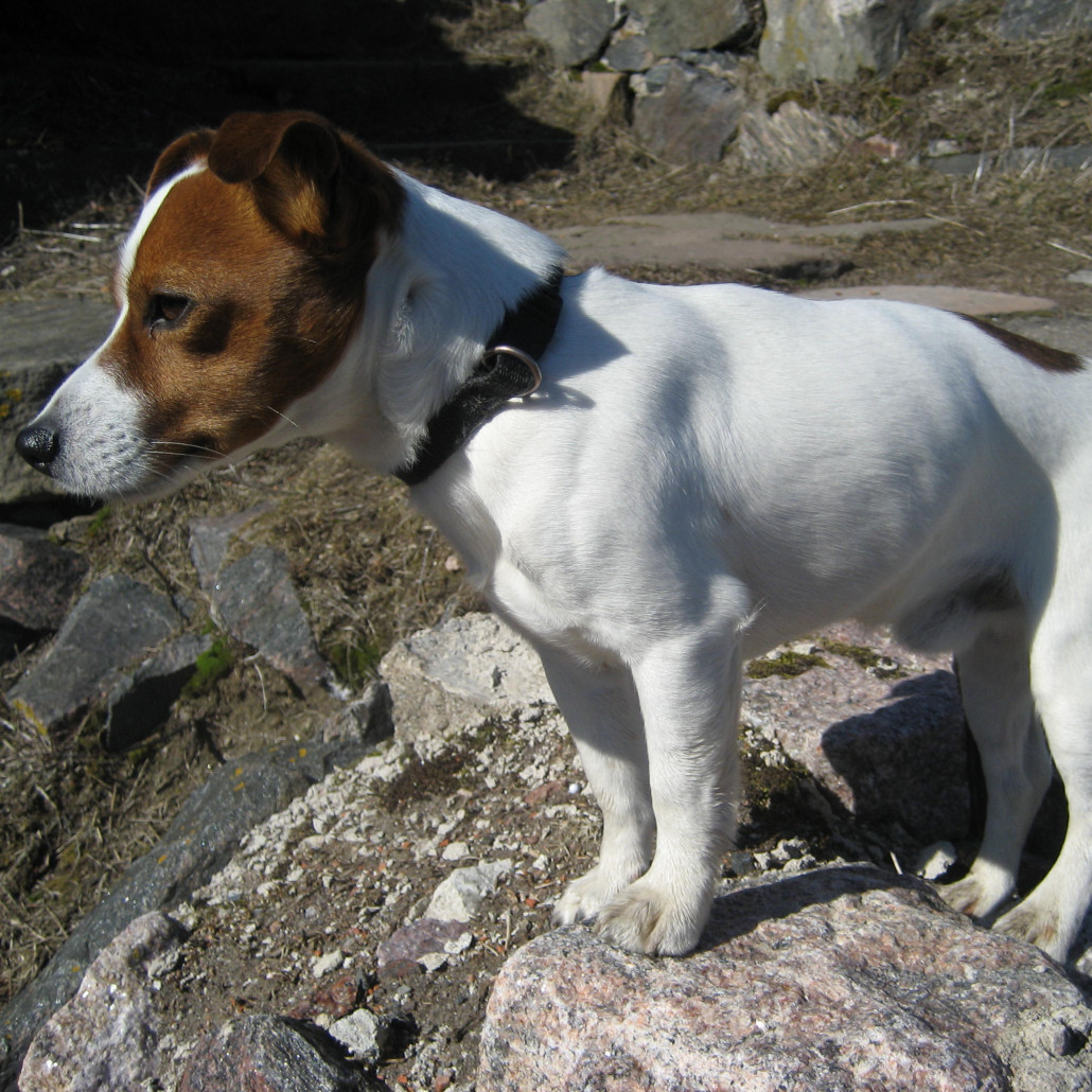 Jack Russell Terrier Breed Guide Learn About The Jack Russell Terrier