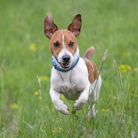 russell terrier breed jack russell terrier breed guide learn about the jack 4230