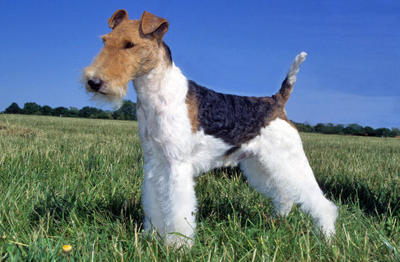 Wire Fox Terrier Pictu...