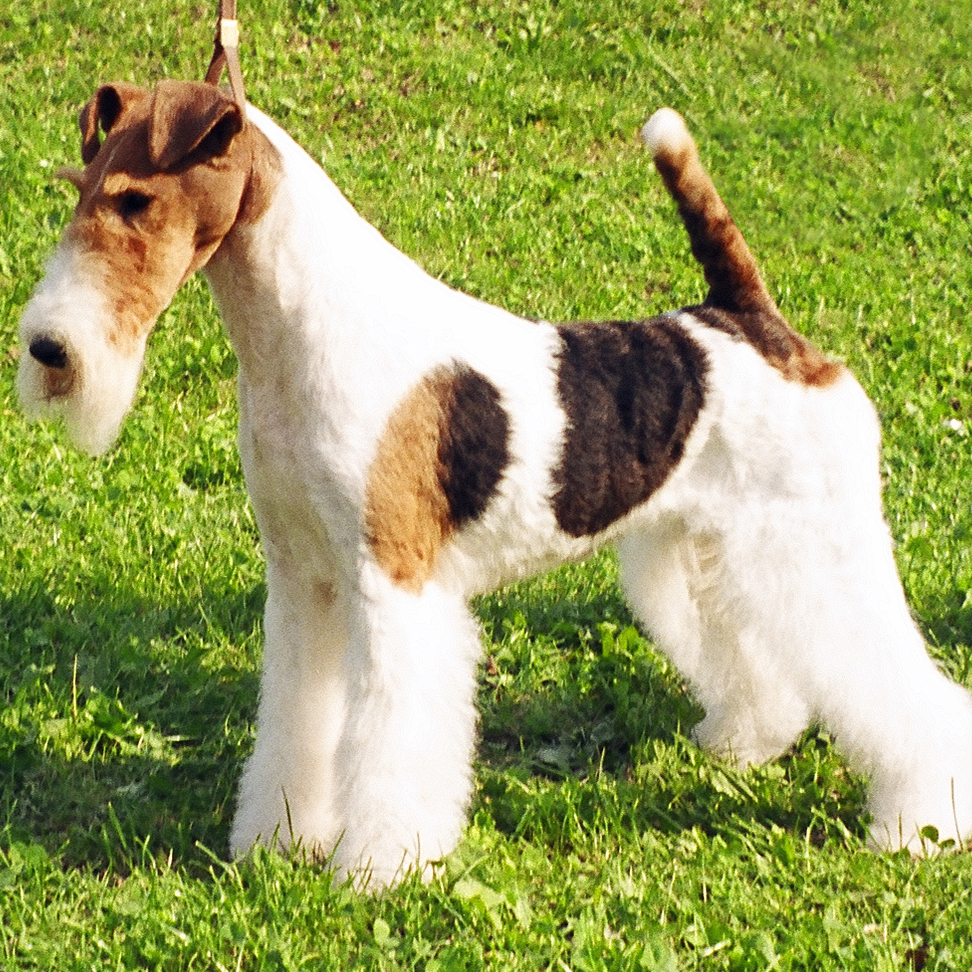Wire Fox Terrier Breed Guide Learn About The Wire Fox