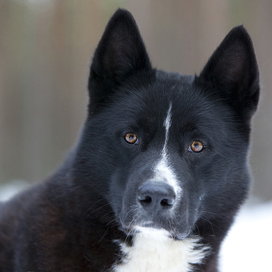 karelian bear dog picture gallery facebook google twitter