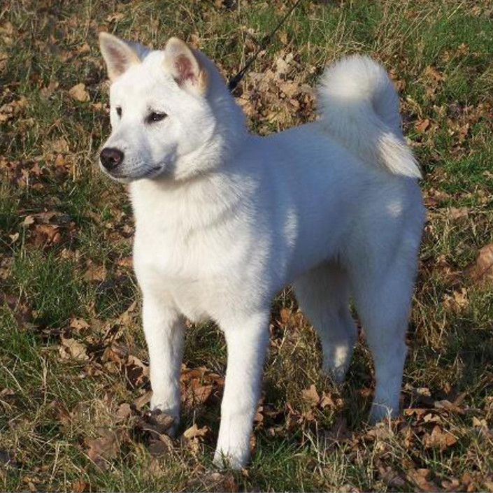 dog breeds starting with k