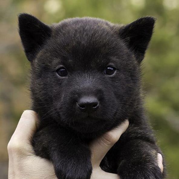 Kai Ken Dog Black
