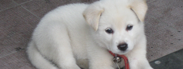 Jindo Breed Guide Learn About The Jindo