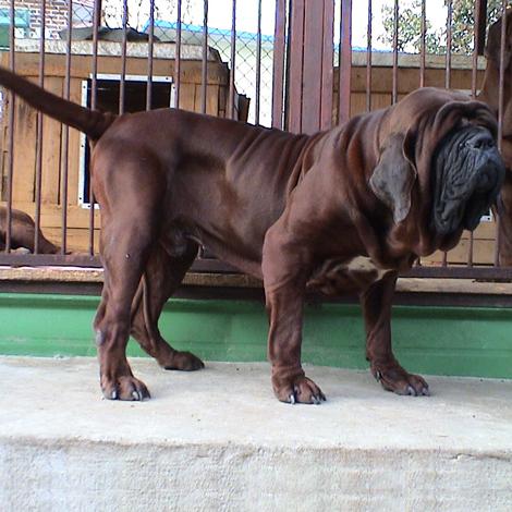 Korean Mastiff Breed Guide Learn About The Korean Mastiff