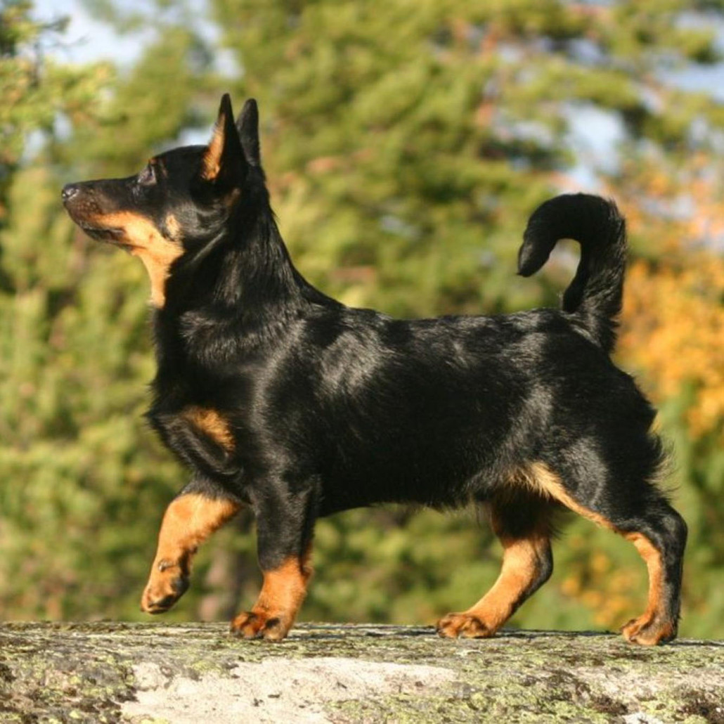 Lancashire Heeler Breed Guide Learn About The Lancashire