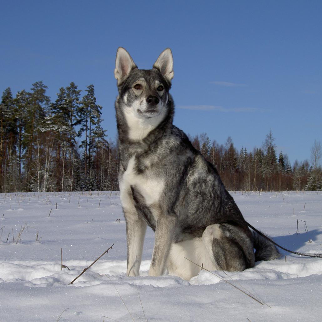 All Snow Dog Breeds