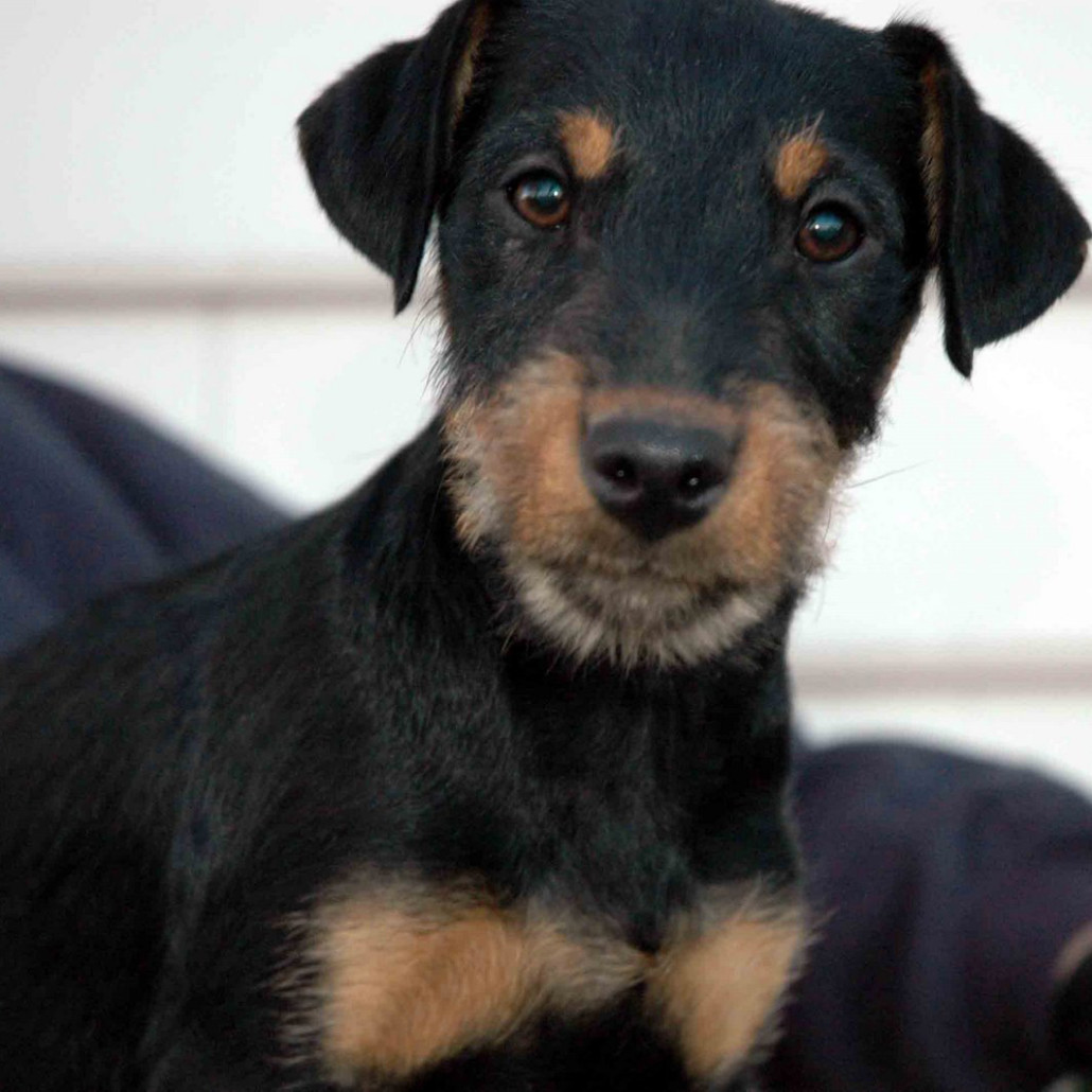 Jagdterrier Breed Guide Learn About The Jagdterrier