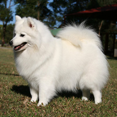 Spitz Breeds Of Dog From Japan