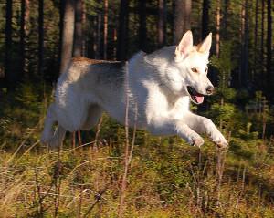 [Image: Jumping-Kunming-Wolfdog-300x239.jpg]