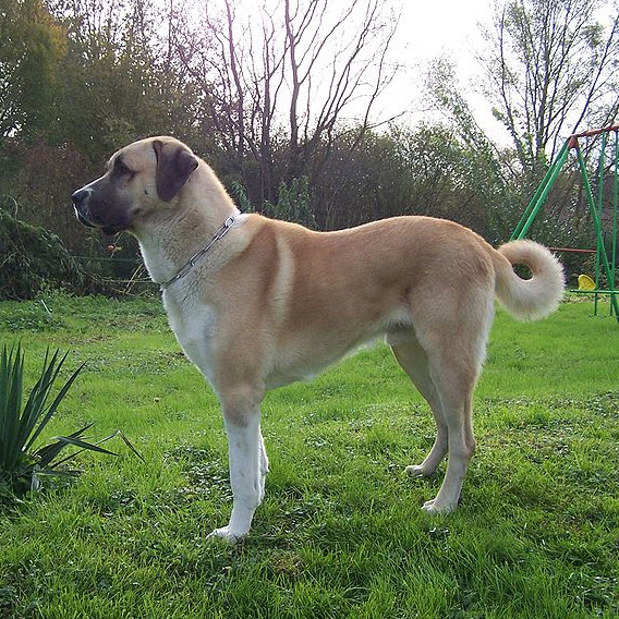 Kangal Breed Guide Learn About The Kangal