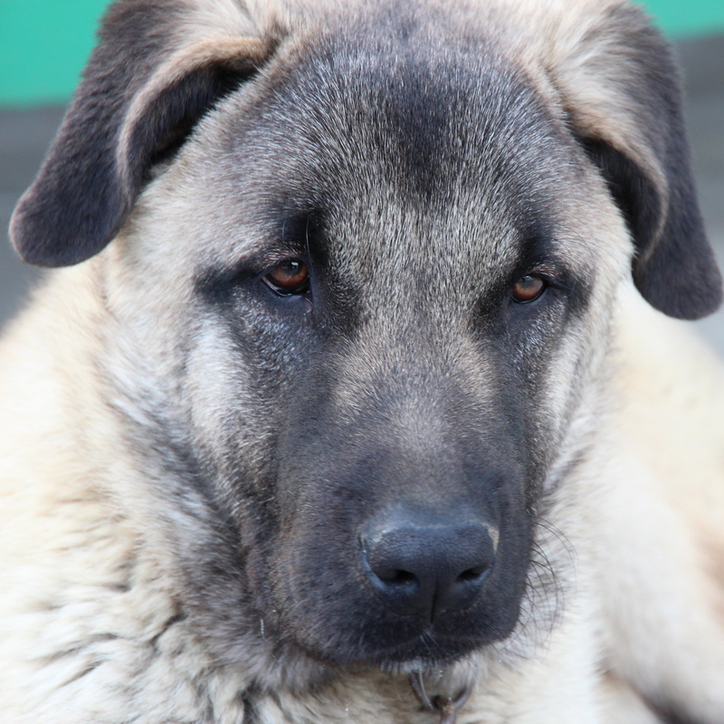 kangal breed guide learn about the kangal. Black Bedroom Furniture Sets. Home Design Ideas